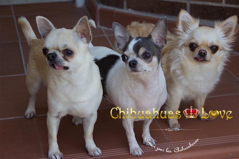 chihuahuas adiestrados