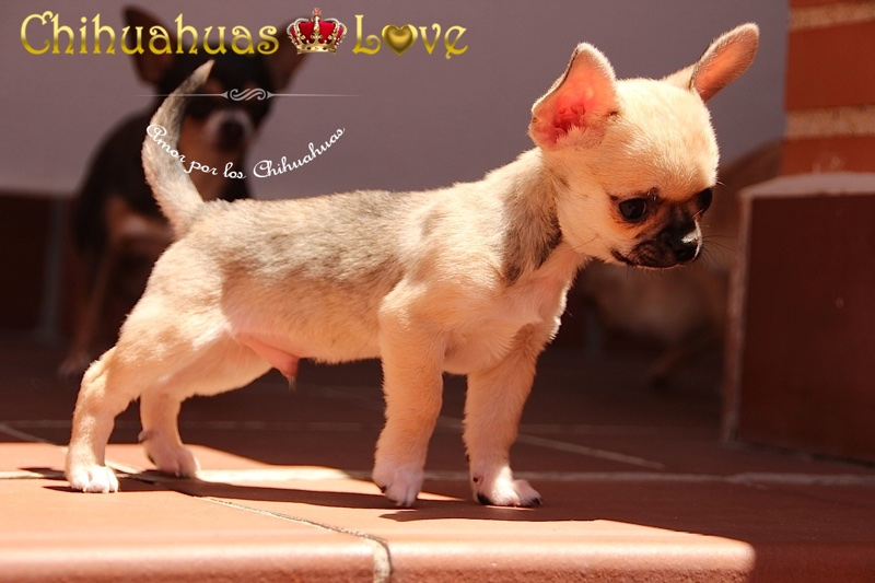 chihuahuas caracteristicas exposicion