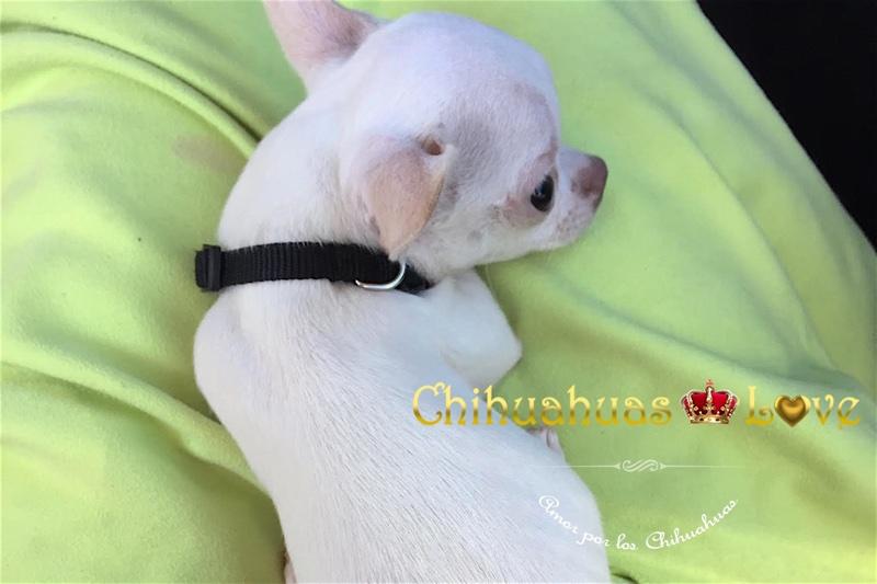 chihuahuas en valladolid