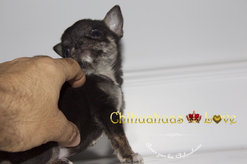 chihuahuas enanos fomento engaño