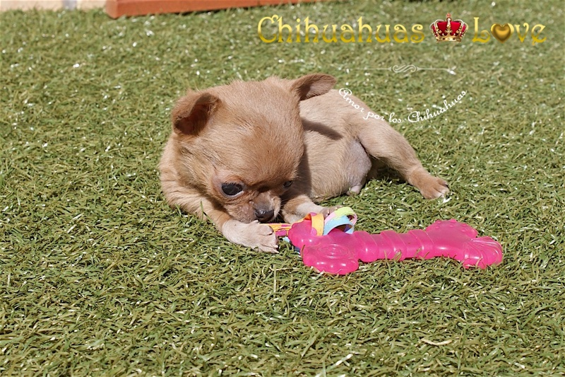 chihuahuas exclusivos
