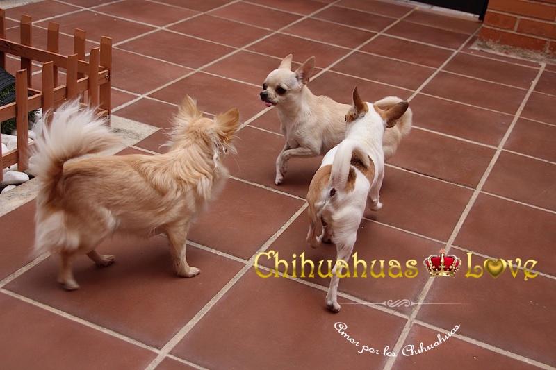 chihuahua madrid criadero