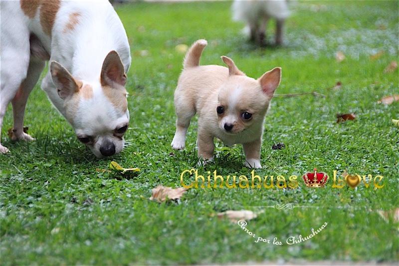 chihuahuas y fotos