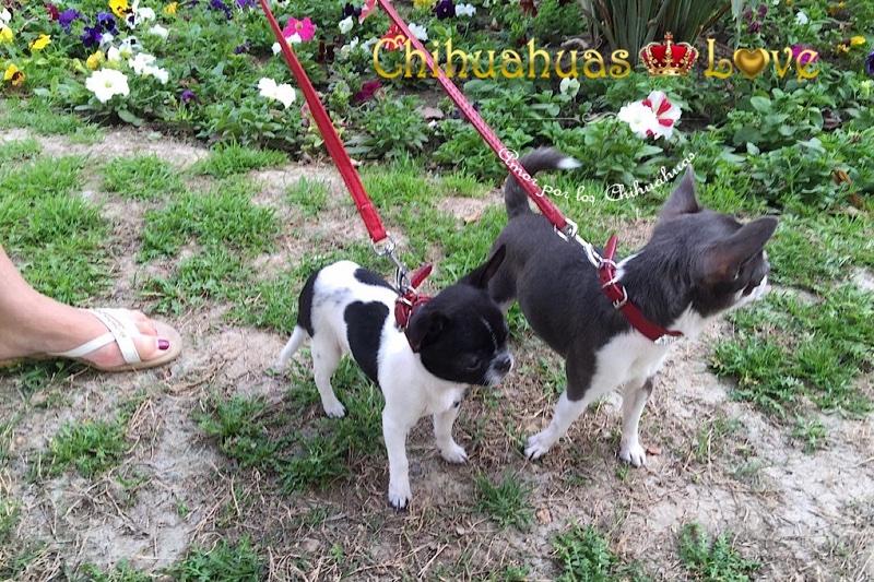 chihuahuas con correa