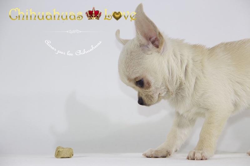 chihuahuas disponibles