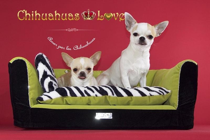 chihuahuas dos mejor que uno