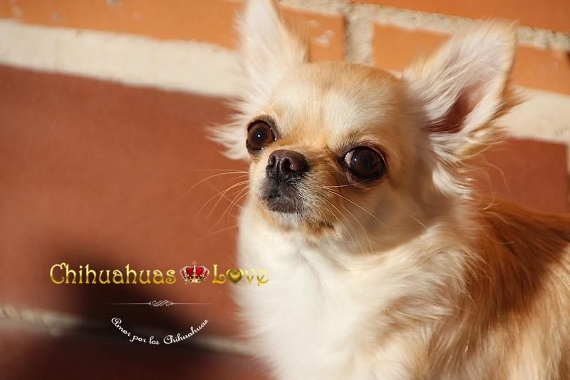 chihuahuas gratis