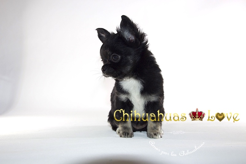 horario criador chihuahuas
