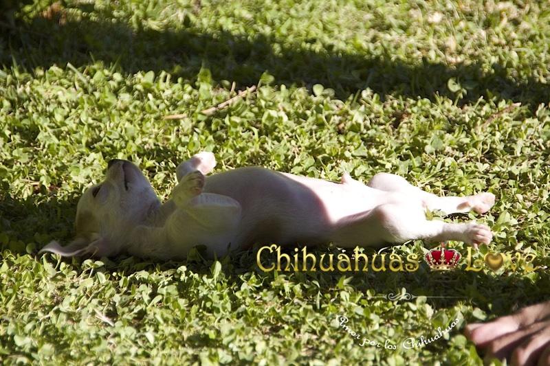 chihuahuas traviesos