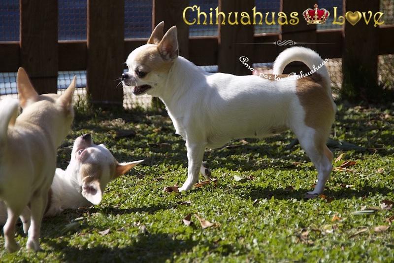 chihuahuas volviendo al criadero
