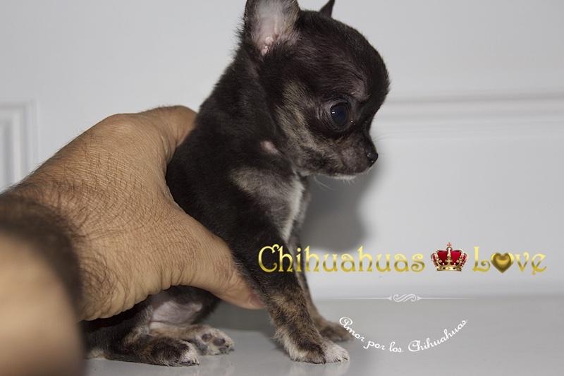 chihuahuas y paciencia