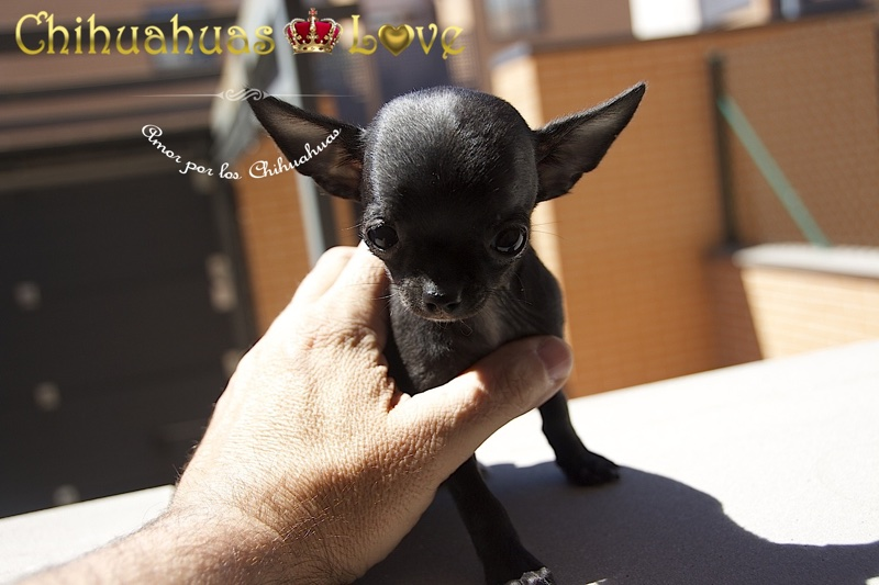 chihuahuas love opiniones clientes