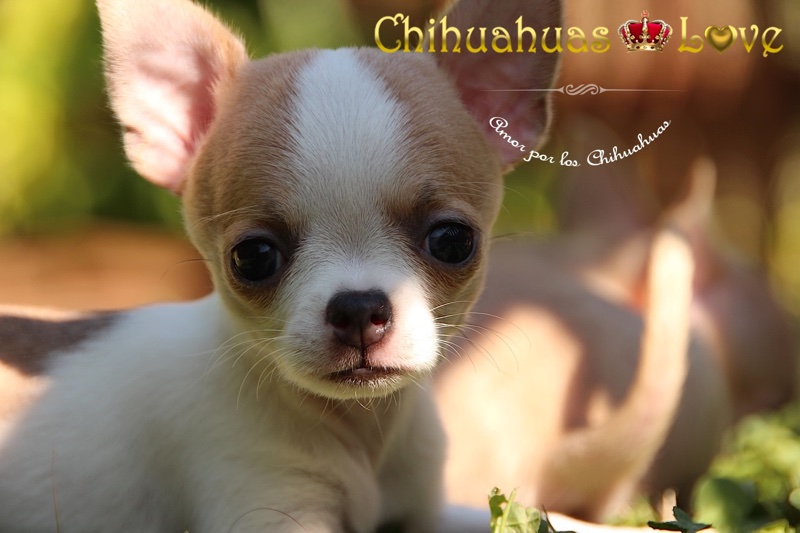chihuahuaslove opinion clientes