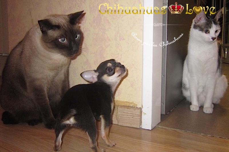 clientes chihuahuas y gatos