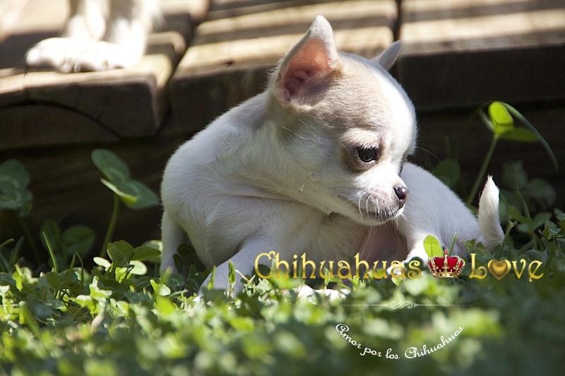 clientes chihuahuas love