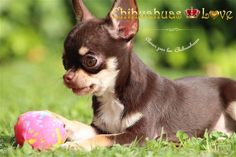 comprar cachorro chihuahua