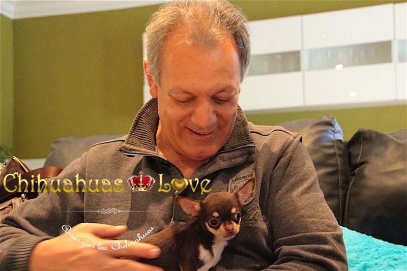 comprar chihuahuas love cachorro