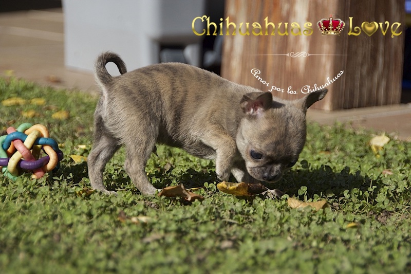 comprar chihuahua exclusivo