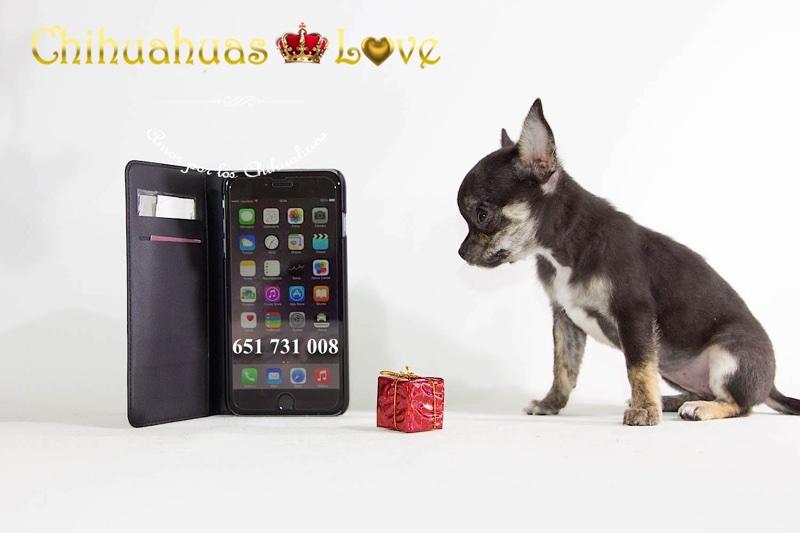 llamanos para comprar chihuahua