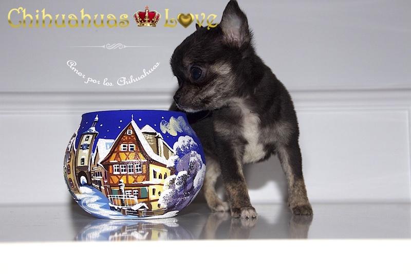 comprar chihuahua en navidad