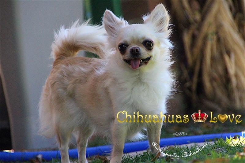 conocer raza chihahua