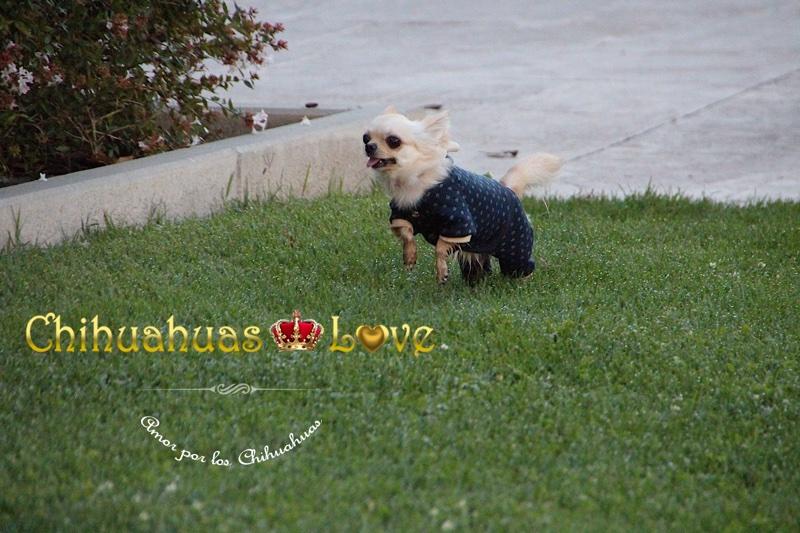 correr y saltar perros chihuahua