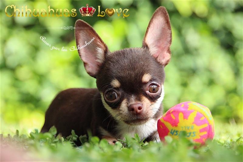 criadero chihuahuas love