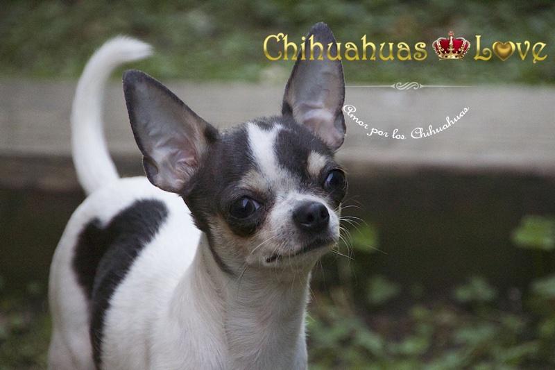 criadero chihuahuas 2015