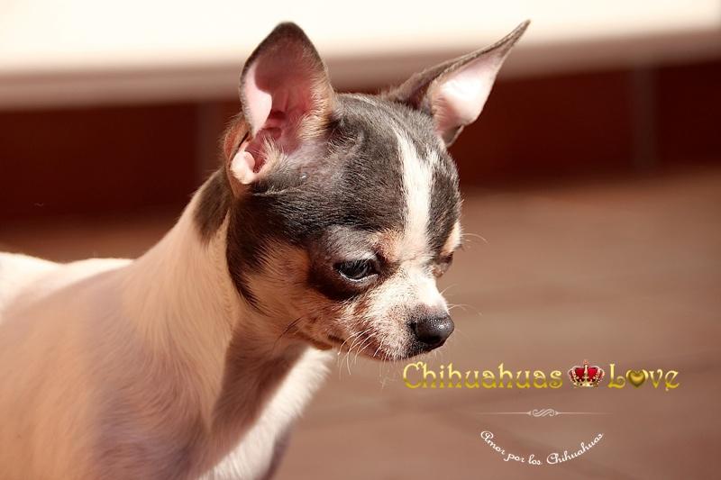 criadero de chihuahuas barcelona