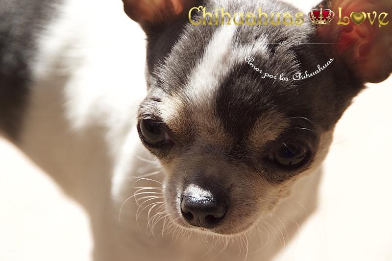 cuidar chihuahuas