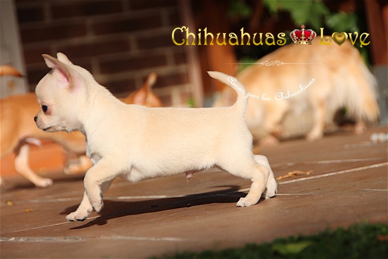 chihuahuas disponibles