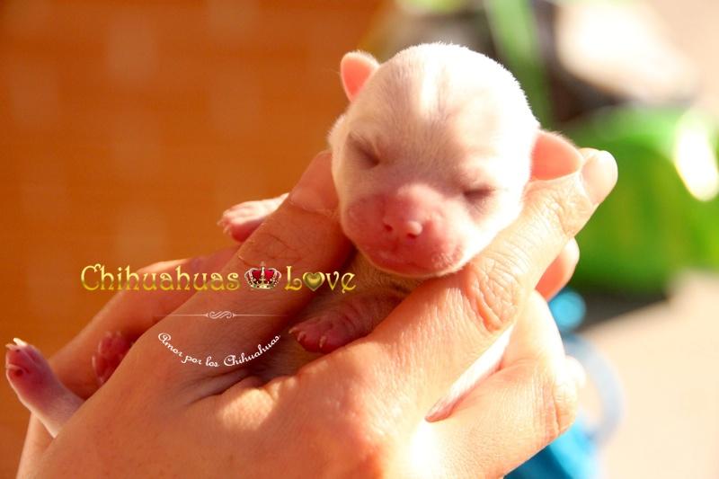 desarrollo de un chihuahua
