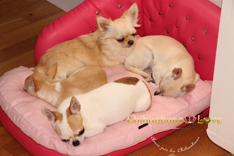 descanso perro chihuahua