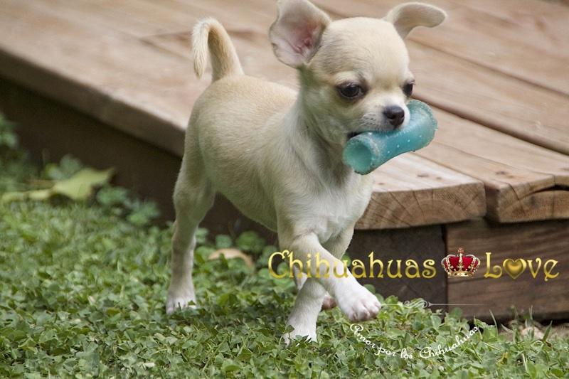 dientes chihuahua juguetes