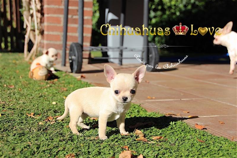 chihuahuas hembra
