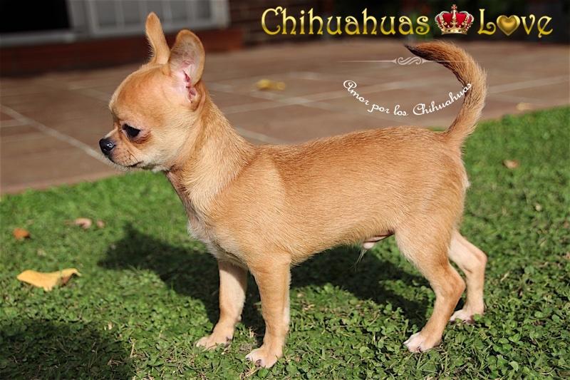 comprar chihuahua