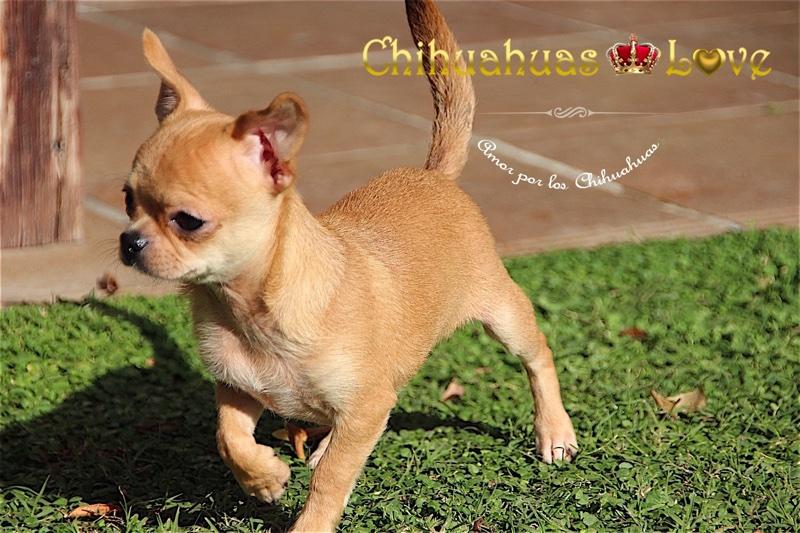 precioso chihuahua en venta