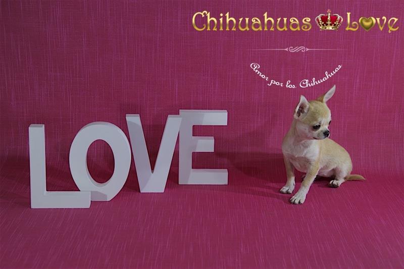 ejercicio disciplina y amor chihuahuas
