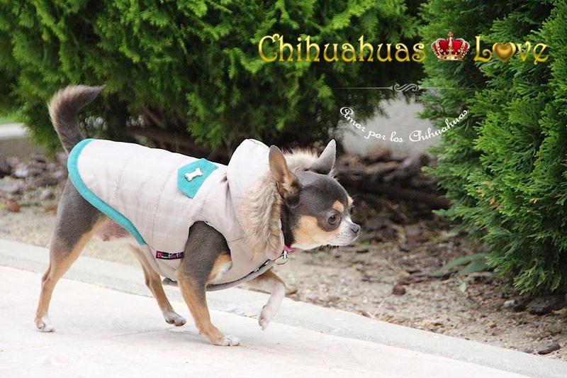 ejercitar chihuahuas