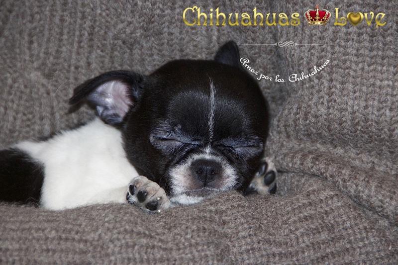 el descanso chihuahuas