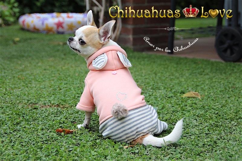 enseñar perros chihuahuas