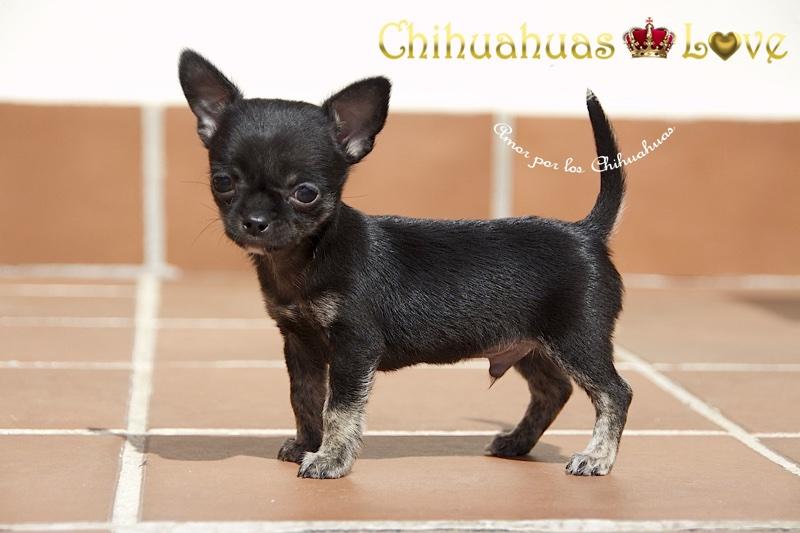 escribir a diario blog chihuahuas