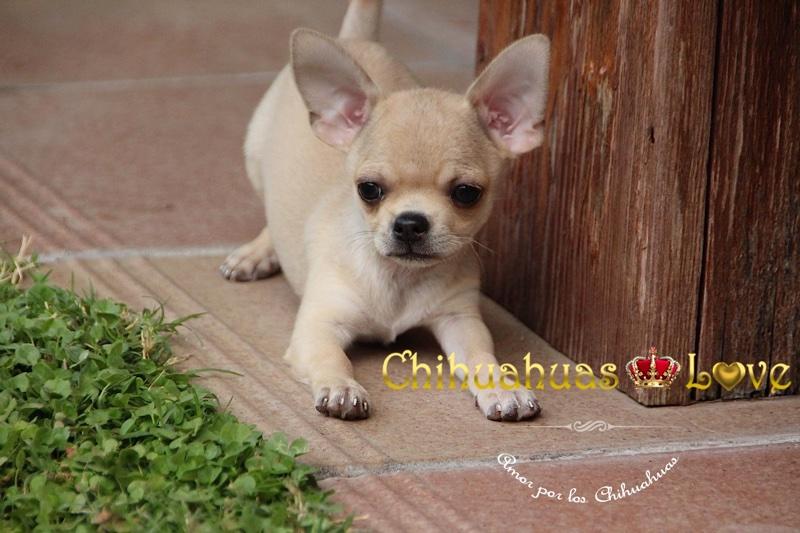 escribir en chihuahuas love