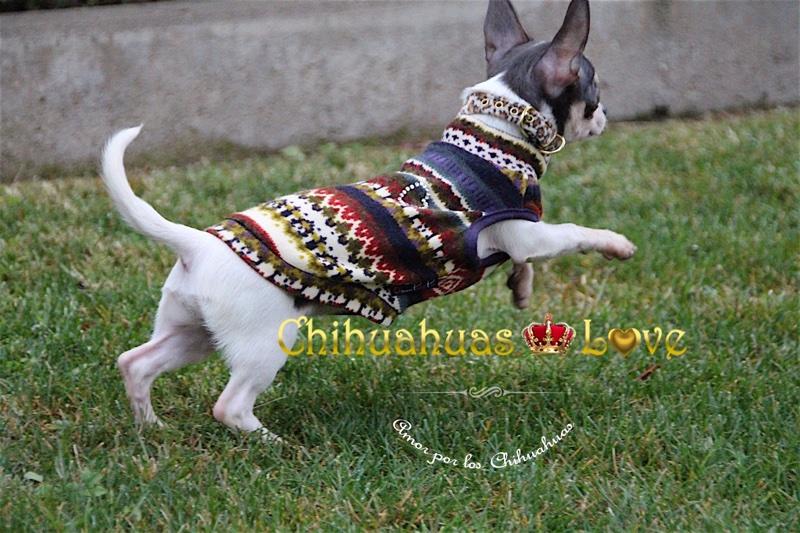 estimular perros chihuahua