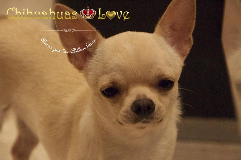 facebook chihuahuas love