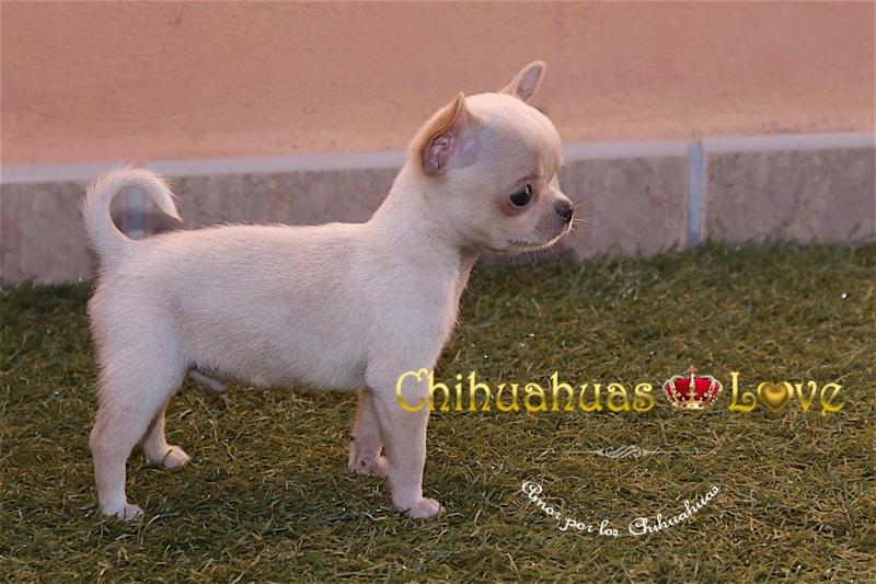 fantasticos chihuahuas