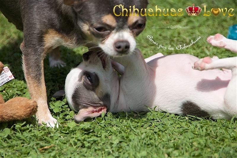 felicidad chihuahuas cusped