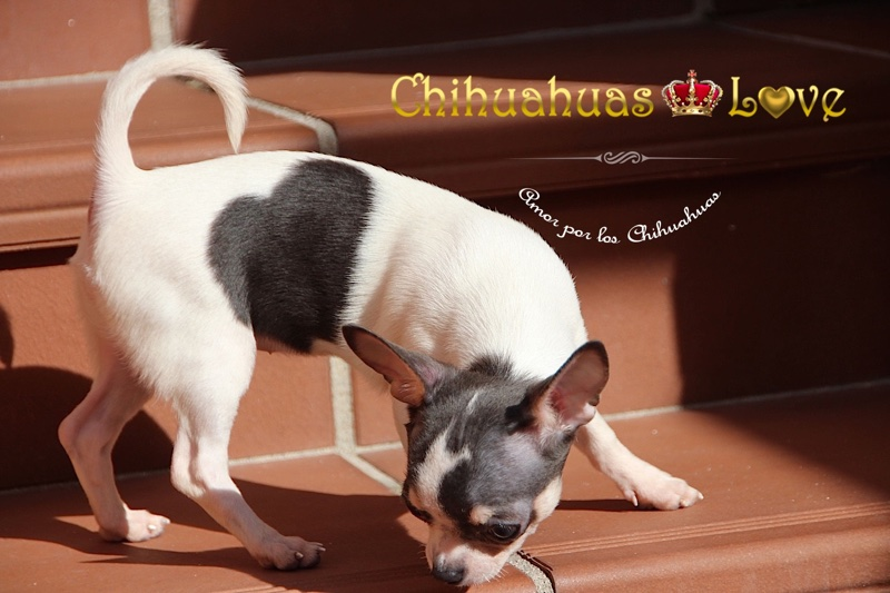 felicidad chihuahuas en casa