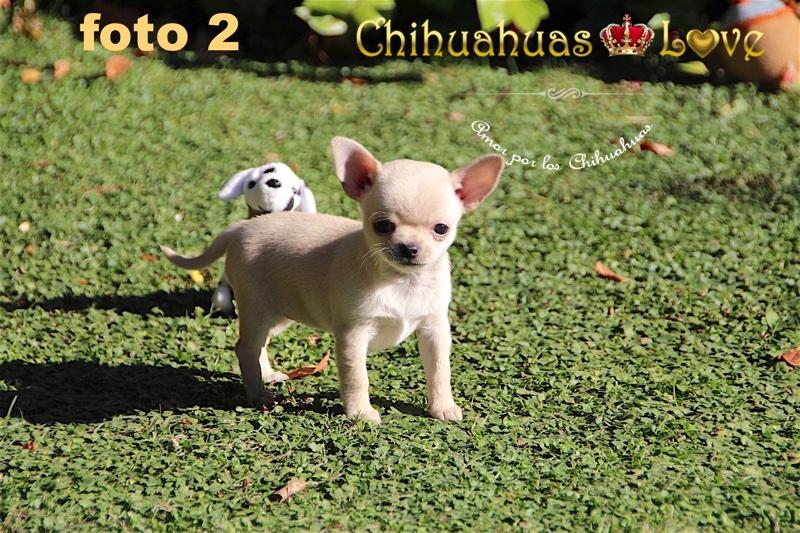 fotos chihuahuas cercanas