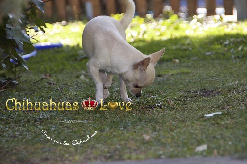 fotos adultos chihuahua